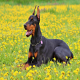 سگ دوبرمن (Doberman)