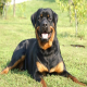 سگ رتوایلر (Rottweiler)
