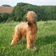 سگ بریارد (Briard)