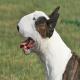 سگ بول تریر (Bull Terrier)