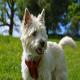 سگ کی رن تریر (Cairn Terrier)