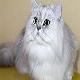 گربه نژاد پرشین (persian cat)