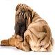 سگ چاینیز شارپی (Chinese Shar-Pei)