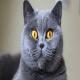 گربه موکوتاه بریتانیایی (British Shorthair)