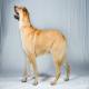 سگ شینوک (Chinook)