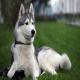 سگ آلاسکنهاسکی (Alaskan Husky)