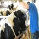 پیشگیری از جابهجایی شیردان در گاوهای شیری
