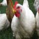 بیماری نکروز روده در مرغ ها