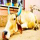 لکوز انزئوتیک (EBL) در گاو