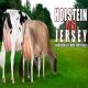 مقایسه بازدهی گاوهای شیری نژاد جرزی و هلشتاین