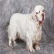 سگ کلامبر اسپانیل (Clumber Spaniel)