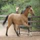 اسب نژاد باشکیر (Bashkir horse)