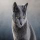 گربه آبی روسی (Russian Blue Cat)