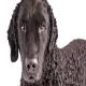 سگ کرلی کتد رتریور (Curly Coated Retriever)
