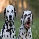 سگ دالمیشن (Dalmatian)