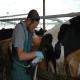 تشخیص آبستنی گاو با لمس از طریق رکتوم