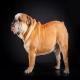 سگ بولداگ انگلیسی (English Bulldog)