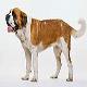 سگ سنت برنارد (Saint Bernard)