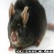 ژاپنیها از یک قطره خون، موش ساختند