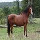 اسب نژاد کاباردین (kabarda horse)