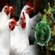 نقش انسان ها در شیوع بیماری های طیور