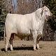 گاو نژاد شاروله (Charolais cattle)