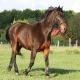 اسب نژاد لات ویان (Latvian horse)