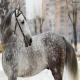 اسب نژاد ارلو تروتر (Orlov Trotter)