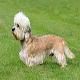 سگ دندی دینمنت تریر (Dandie Dinmont Terrier)