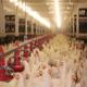 برنامه نوری در مرغداری