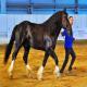 اسب نژاد ولادیمیر هیوی درافت (Vladimir Heavy Draft)