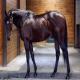اسب نژاد تروبرد (Thoroughbred)