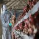 آنفلوانزای طیور (Avian Influenza) (بخش دوم)