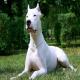 سگ داگو آرژانتینو (Dogo Argentino)