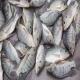 تیلاپیا بازار ماهی را قبضه کرد