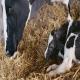 دوره خشکی و close up در گاو شیری باردار