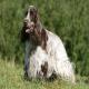 سگ انگلیش کوکر اسپانیل (English Cocker Spaniel)