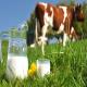 تاثیر مصرف چای در گاو بر تولید شیر