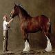 اسب نژاد شایر (Shire horse)
