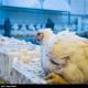 مهار بیماری آنفلوانزای مرغی در ۸ استان کشور