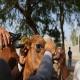 پلاک کوبی 10هزار شتر در هرمزگان