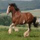 اسب نژاد کلاید سدال (Clydesdale horse)