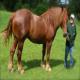 اسب نژاد سافوک (Suffolk Punch)