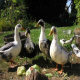 نگاهی مختصر به پرورش اردک