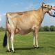 گاو نژاد جرزی (jersey cattle)