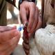 علل موفقیتآمیز نبودن واکسیناسیون در طیور (بخش نخست)
