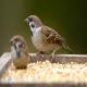 مصرف شن در غذای برای پرندگان زینتی ممنوع