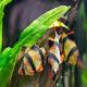 شناخت و نگهداری ماهی بارب (Barb fish)