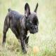 سگ بولداگ فرانسوی (French Bulldog)