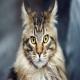 گربه نژاد مین کوون (Maine Coon)